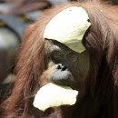 Los derechos del orangután son una ataque a nuestros derechos